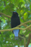 Bluebird, Asian Fairy (male) @ Bukit Timah