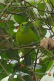 Leafbird, Blue-winged (female) @ Bukit Timah