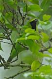 Leafbird, Greater Green (male) @ Bukit Timah