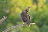 Eagle, Long-crested (male)
