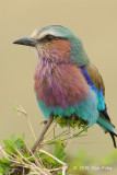Roller, Lilac-breasted