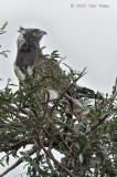 Eagle, Black-chested Snake (adult)