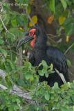 Hornbill, Southern Ground