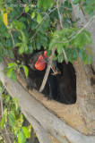 Hornbill, Southern Ground (at a nest)