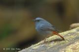 Redstart, Plumbeous (male) @ Doi Inthanon