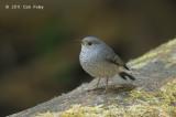 Redstart, Plumbeous (female) @ Doi Inthanon