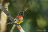 Sunbird, Mrs. Gould's (eclipse male) @ Doi Inthanon