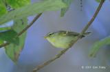 Warbler, Blyth's Leaf @ Doi Inthanon