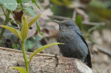 Thrush, Blue Rock (male non-breeding) @ Doi Chiang Dao