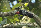Woodpecker, Stripe-breasted (male) @ Doi Lang