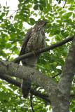 Cuckoo, Large Hawk (sub adult) @ Pasir Ris Park