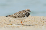 Turnstone, Ruddy @ Changi