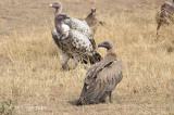 Vulture, Ruppell's (juvenile)