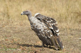 Vulture, Ruppell's