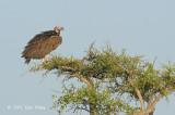 Vulture, Lappet-faced