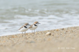 Plover, Kentish @ Changi