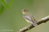 Flycatcher, Yellow-rumped (female) @ Bidadari
