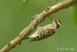 Woodpecker, Sunda Pygmy @ Bidadari