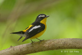 Flycatcher, Yellow-rumped (male) @ Bidadari