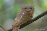 Frogmouth, Blyth's (female)