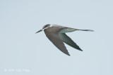Tern, Bridled @ Straits of Malacca