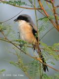 Shrike, Long-Tailed @ Punggol