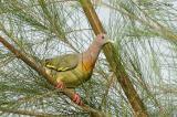 Pigeon, Pink-Neck Green @ Punggol