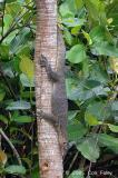 Malayan Water Monitor Lizard @ Sungei Buloh