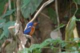 Kingfisher, Blue-Eared (male) @ Panti Forest, Malaysia