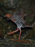 Crake, Red-Legged @ Botanic Garden