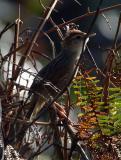 Grassbird, Tawny @ Tabunan