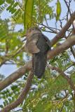 Cuckoo, Rusty-breasted @ Neo Tiew Lane 2