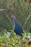 Swamphen, Grey-headed @ Neo Tiew Lane 2