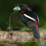 Broadbill, Black-and-red @ Kinabatangan River