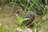 Painted-Snipe, Greater (male) @ Punggol