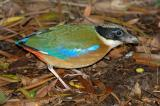 Pitta, Blue-Winged @ Botanic Garden