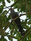 Malkoha, Chestnut-bellied @ Upper Peirce