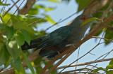 Malkoha, Chesnut-bellied @ Rifle Range