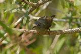 Sunbird, Black-throated (female) @ Jelai Resort