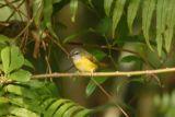 Warbler, Yellow-bellied @ Telecom Loop