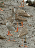 Redshank, Common (breeding plumage) @ Sungei Buloh