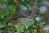 Starling, Asian Glossy (juvenile) @ Seletar