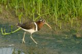 Snipe, Greater Painted (female) @ Punggol
