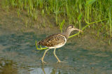 Snipe, Greater Painted (male) @ Punggol