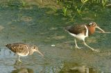 Snipe, Greater Painted @ Punggol