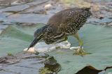 Heron, Straited (juvenile)