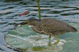 Heron, Striated (juvenile)