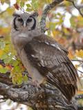 Owl, Verreaux's (Giant) Eagle