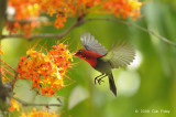 Sunbird, Crimson (male) @ Lower Peirce