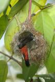 Flowerpecker, Scarlet-backed (female) @ Lower Peirce